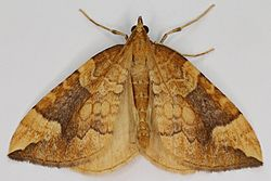 Eulithis populata, Northern Spinach, Trawscoed, North Wales, Aug 2015 (20488682003).jpg