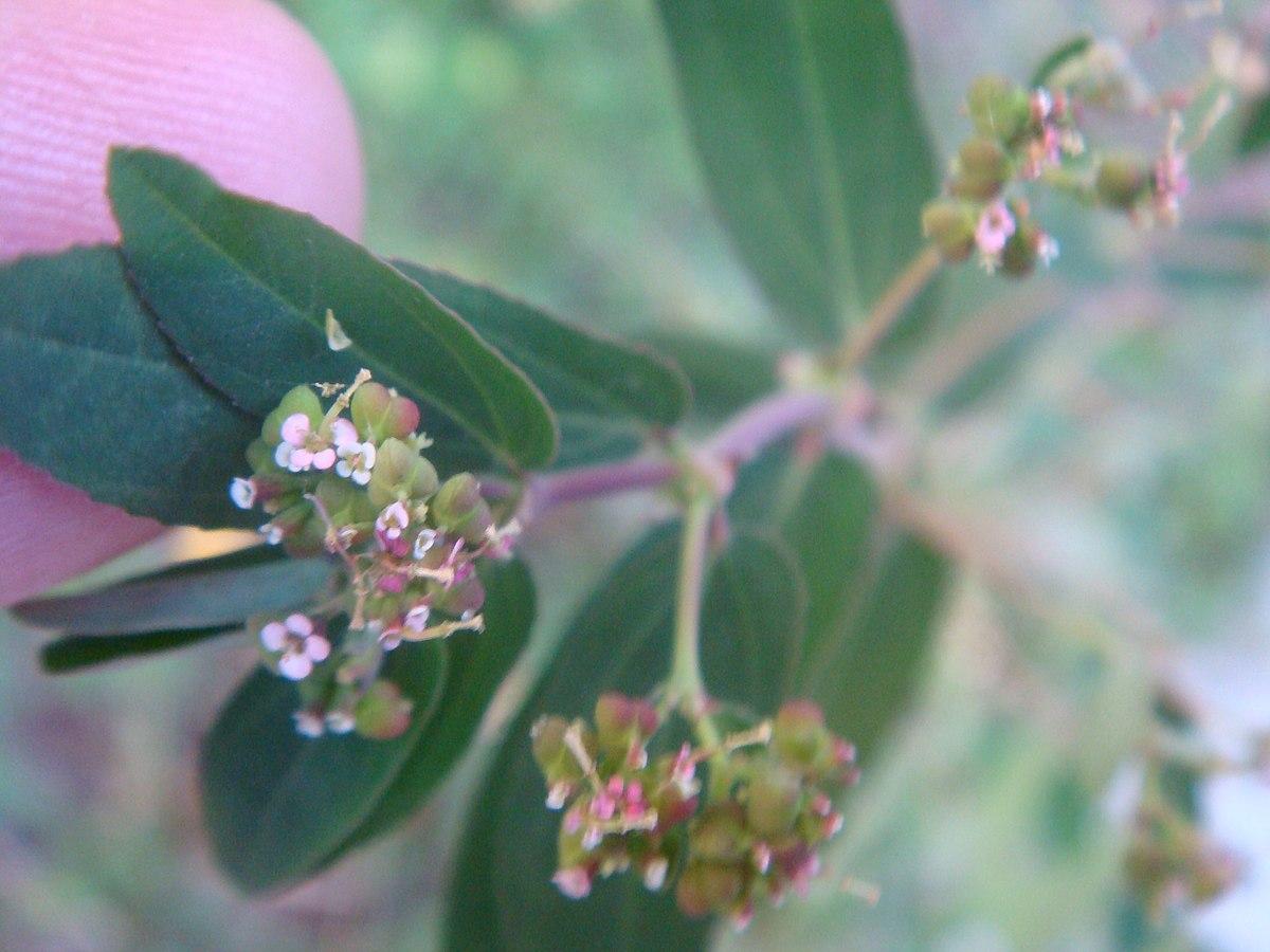 Euphorbia Nutans Wikipedia