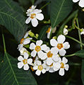 Euphorbia fulgens white.jpg
