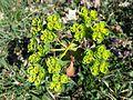 Euphorbia helioscopia sl2.jpg