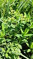 Euphorbia villosa sl3.jpg