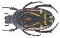 Eupoecila australasiae (Donovan, 1805) (16492933178).png