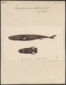 Euprotomicrus labordii - 1700-1880 - Print - Iconographia Zoologica - Special Collections University of Amsterdam - UBA01 IZ14100159.tif