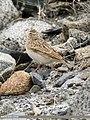 Eurasian Skylark (Alauda arvensis) (48332246321).jpg