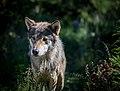Eurasian Wolf (9358589025).jpg