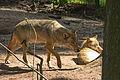 Europäischer Grauwolf (Canis lupus lupus) im Wolfcenter Barme (Dörverden) IMG 9045.jpg