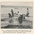 FMIB 40312 Transferring the fish to the infection tank The foreman standing in the boat is pouring the glochildia from a can into the tank.jpeg