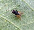 Face Fly or Autumn fly. Musca autumnalis - Flickr - gailhampshire.jpg