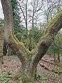 Fagales - Quercus robur - 64.jpg