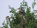 Falco vespertinus, siva vetruška 2.jpg