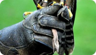 Gauntlet (glove) - A falconry gauntlet