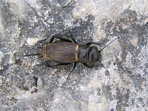 Weibchen der Feldgrille (Gryllus campestris)