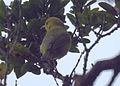 Female ʻAnianiau.jpg