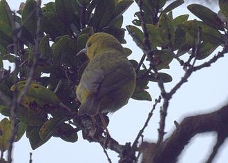 ʻAnianiau - Image: Female ʻAnianiau