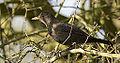 Female Blackbird (Turdus merula) (13041663735).jpg
