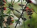 Female Purple Sunbird Drinking Nectar 04.jpg