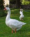 Feral Domestic Goose.jpg