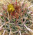 Ferocactus viridescens 2.jpg
