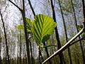 Feuilles d'un arbre non-identifié à Grez-Doiceau 008.jpg