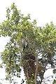 Ficus cotinifolia 1838228.jpg