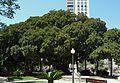 Ficus del parc de Canalejas d'Alacant.JPG