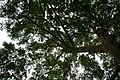 Ficus racemosa 6zz.jpg
