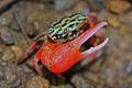 Fiddler Crab (Uca crassipes?) (6760660387).jpg
