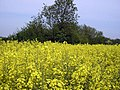 Field of Rape Seed - geograph.org.uk - 851614.jpg