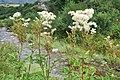 Filipendula ulmaria Meadow Sweet ჩვეულებრივი ქაფურა.JPG