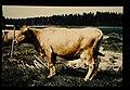 Finnish,suomenkarja = 世界の牛 フィンランド牛(雌) (36706369615).jpg
