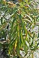 Fireweed (Chamaenerion angustifolium) - Nesodden, Norway 2020-09-20.jpg