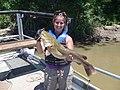 Flathead catfish (6441955015).jpg