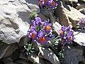Fleur dans les pierriers du mont pelat.jpg