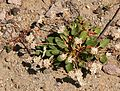 Flickr - brewbooks - Eriogonum pyrolifolium (Dirty Socks).jpg