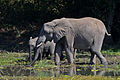 Flickr - ggallice - African bush elephant.jpg