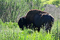 Flickr - ggallice - Bison.jpg