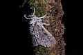 Flickr - ggallice - Moth entomopathogenic fungus, Biotopo del Quetzal.jpg