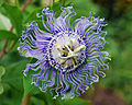 Flickr - ggallice - Passiflora, Gainesville.jpg