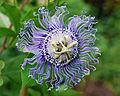 Flickr - ggallice - Passiflora, Gainesville.jpg