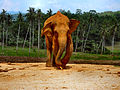 Flickr - ronsaunders47 - ELEPHANTS OF SRI LANKA. 1 (1).jpg