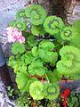 Flora of Esino Lario 5.jpg