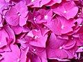Flores rosas en el parque.JPG