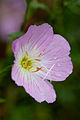 Flower, Pinkladies Showy evening primrose - Flickr - nekonomania (2).jpg