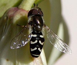 Flower fly on yucca.jpg