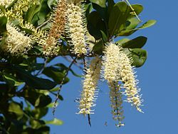 Flowering Macadamia.jpg