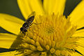 Fly on the flower 01.jpg