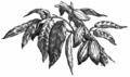 Fotg cocoa d068 pods of cacao theobroma.png