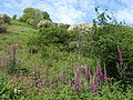 Foxgloves on the coast path - geograph.org.uk - 811585.jpg