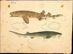 Broadnose sevengill shark - Painting by Frederick Schoenfeld