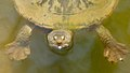 Freshwater Tortoise.jpg